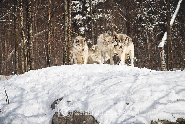 The grey wolves of Parc Omega