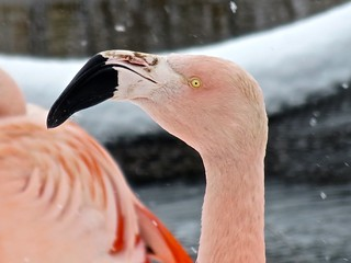 Flamingo in the snow