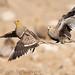 Namaqua Sandgrouse by gerdavs