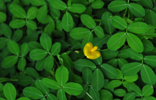 Arachis pointoi 'Golden Glory' (1)