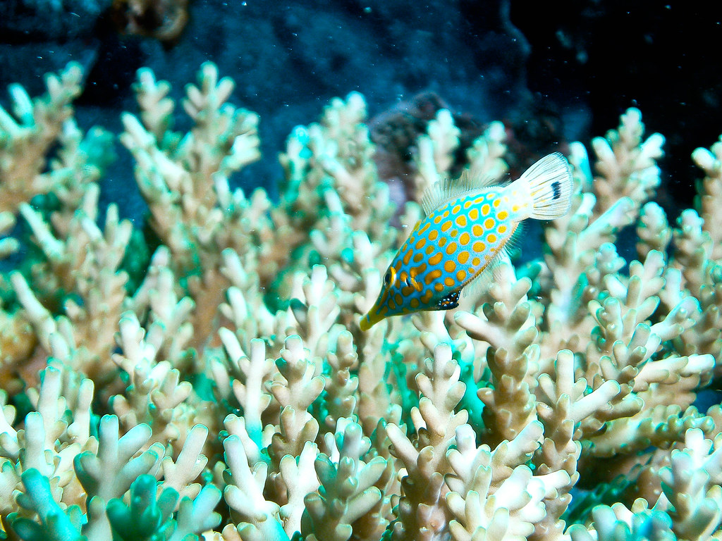 Long-nose Filefish - Oxymonacanthus longirostris