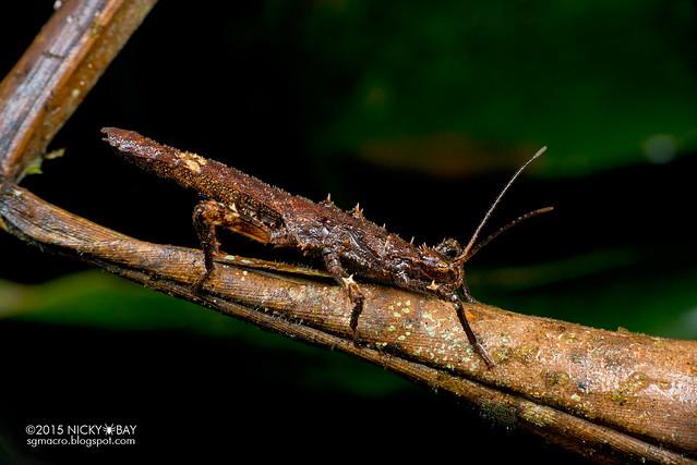 Stick insect (Phasmatodea) - DSC_2741