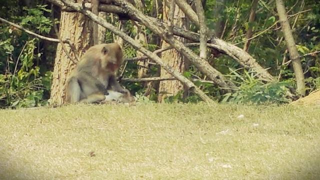 lots of monkeys at Royal Ratchaburi