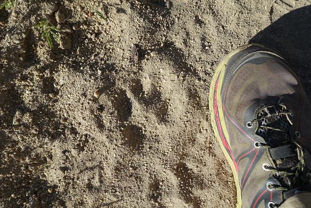 PCT. Mountain lion paw print.  A few days old.