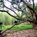 Canarium 黑橄欖樹