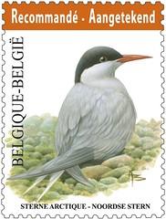 03bis Oiseau Recommande¦ü Sterne arctique - Copy