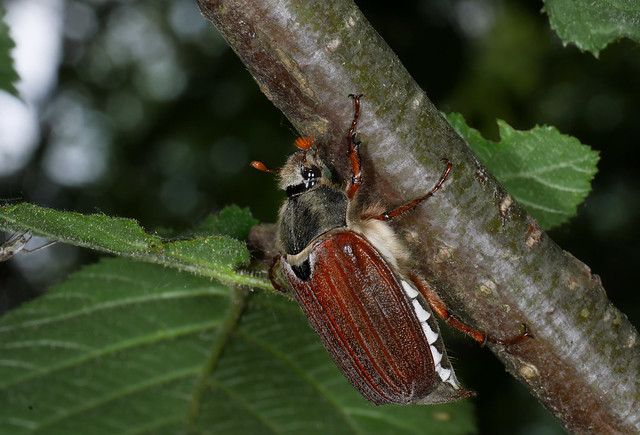 Common European Cockchafer (Melolontha melolontha), Parc de Woluwé, Brussels
