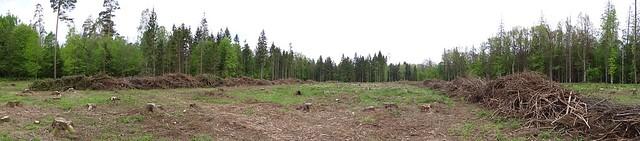Logged area in Białowieża