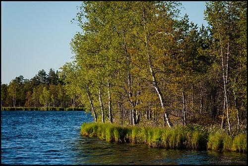 summer lake grass sunshine forest waves skog marsh birch björk sommar sjö vågor gräs kronoby träsk solsken krombi furuträsket
