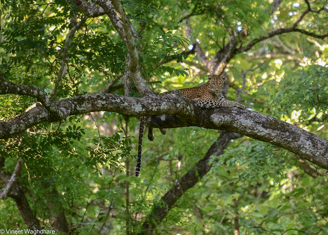 Leopard perched on a branch.