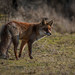 fox by Bart Hardorff