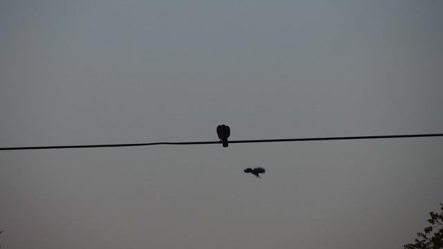 IMG_8849 dakota plains hawk harassed by crow