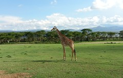 prairie, plain, nature, giraffe, fauna, giraffidae, grassland, safari, wildlife,