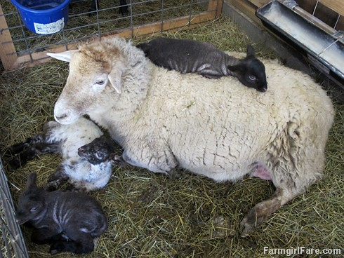 Mother's Day (2) - Frenchie and her triplets - FarmgirlFare.com