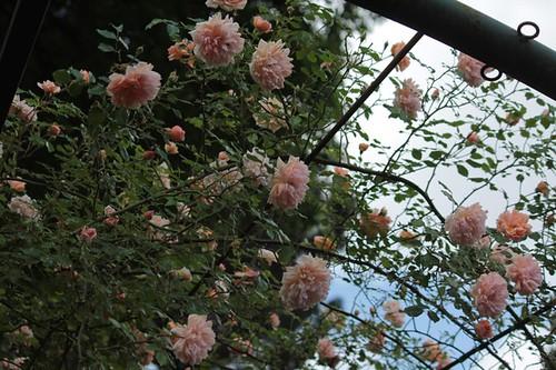 Roseto comunale: rose/rampicanti