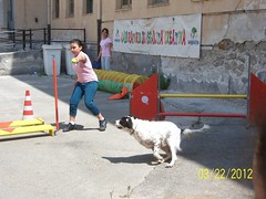 Laboratorio di Agility Dog