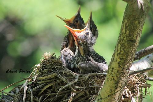 robin canon nest chicks 60d canonef75300f456usm