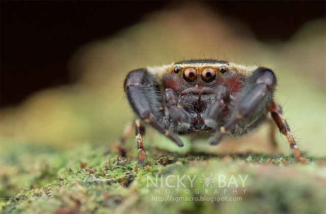 Jumping Spider (Rhene sp.) - DSC_3809