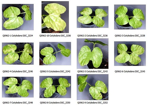 Q0962 Cotyledons Contact Sheet by Gerris2