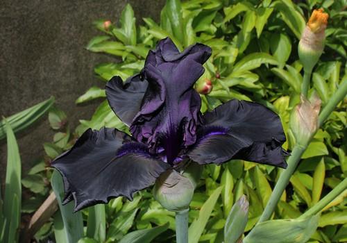 Nos Iris : floraisons 2012 - Page 2 8736150336_19571c1fd8