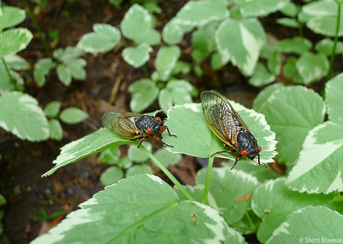 Virginia cicadas