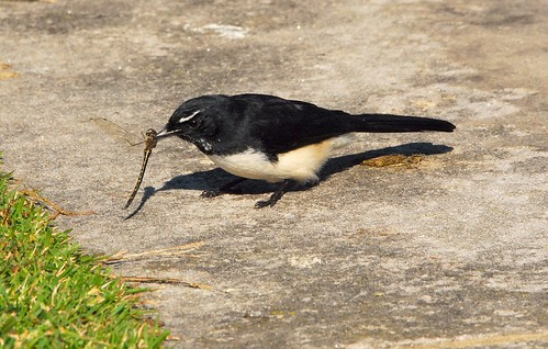 Willie-wagtail catches Dragonfly