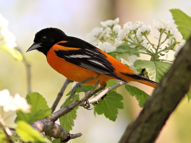 Baltimore Oriole COREL  2-20130514