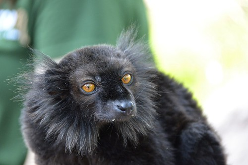 portrait black nature animal torino monkey wildlife lemur macaco madagascar redeyes blacklemur zoomtorino elemurmacaco