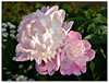 """The peony, when based on legend, symbolizes compassion."""