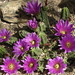 Echinocereus viereckii at Tucson Botanical Gardens, May 14 2013 by Distraction Limited