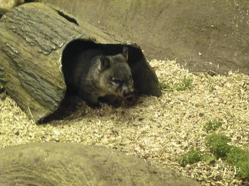 5.14 - Wombat