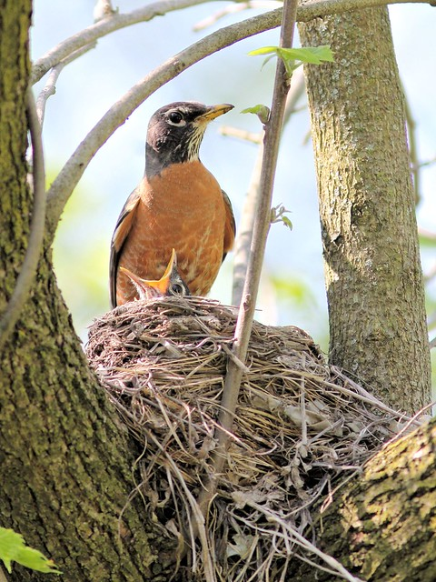 American Robin at nest COREL 20130514