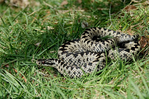 Malvern Hills Adder Tracking