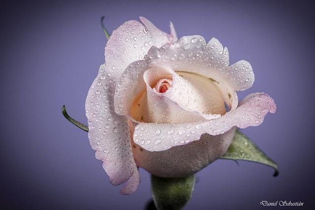 Rosa rosa en fondo morado