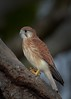 Nankeen Kestrel,  They are held up with little tiny threads!