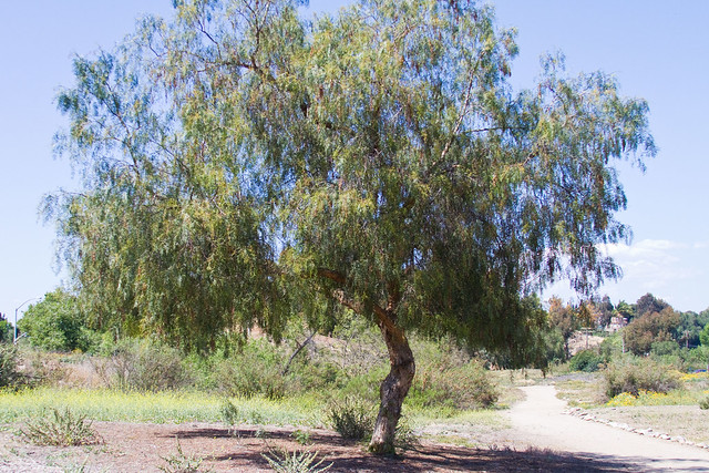 how to kill a pepper tree