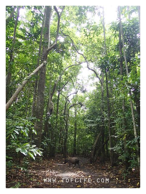Babi hutan taman tangkoko