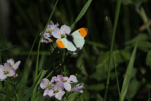 orange tip  upleadon 16/05/13