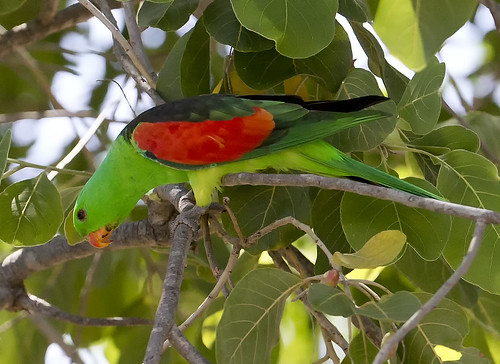 red shouldered parrot