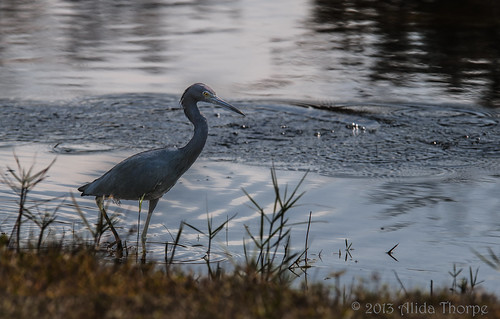heron- Riverbend Park by Alida's Photos