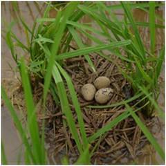 築在水稻田裡的彩鷸巢