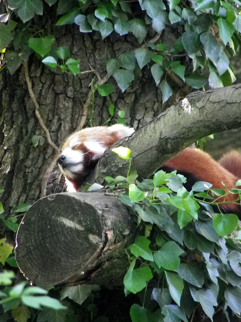 Header of Ailurus fulgens fulgens