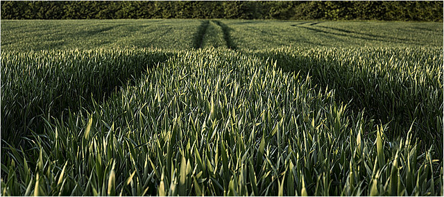 Fields Of Green by Lisa Potter