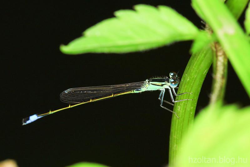 Szitakötő - Dragonfly