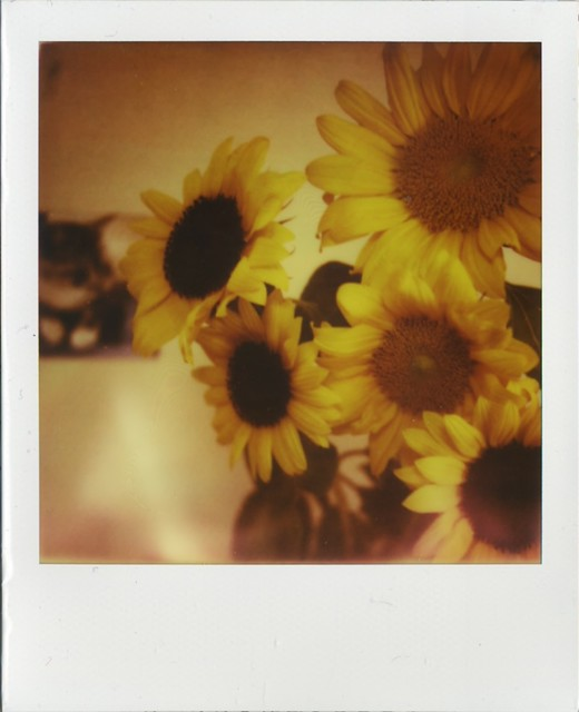 sunflower for Tabi