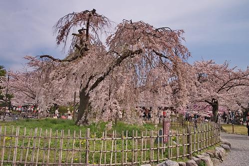 【写真】桜 : 渡月橋