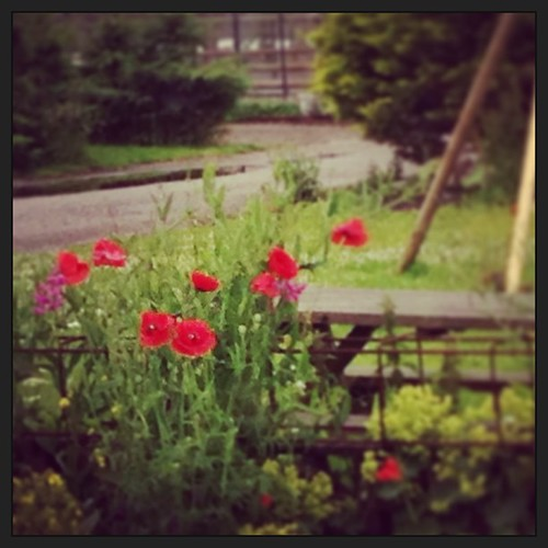 I've always been fascinated by #red#poppies. Why? They're so #fragile yet grow #wild by the #roadside, stalks thin and tall and petals as soft as cotton. Yet the stand strong, giving #beauty and #hope. Awesome