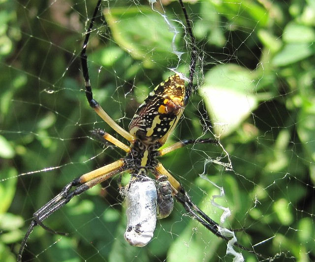 Yellow Garden Spider - detail