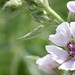 Small photo of Marshmallow (Althaea officinalis)