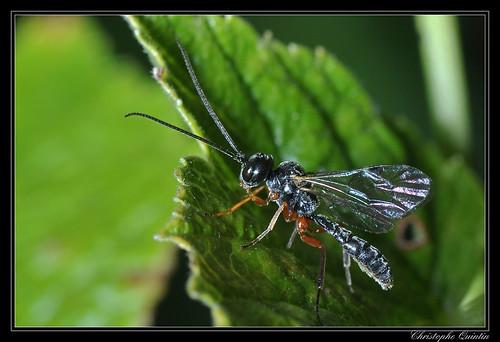 Tryphoninae/Exenterini